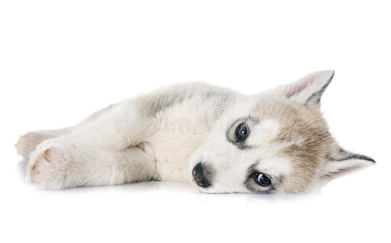 Лайка щенка сибирская стоковая фотография rf