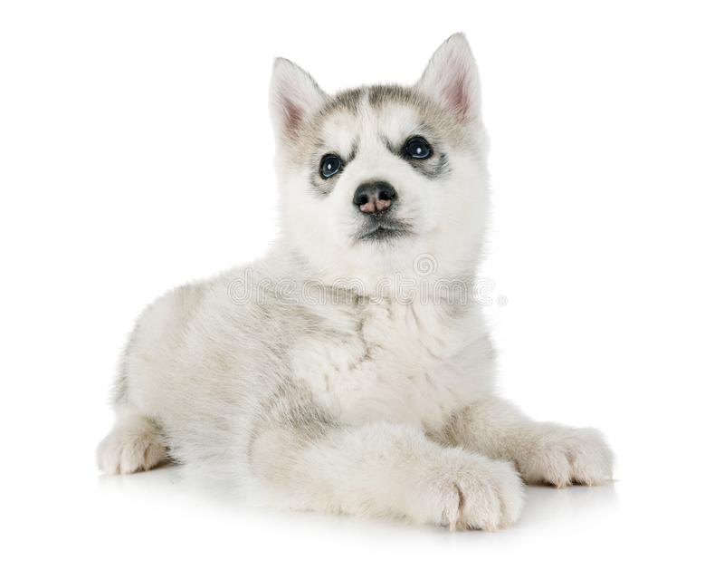 Лайка щенка сибирская стоковая фотография