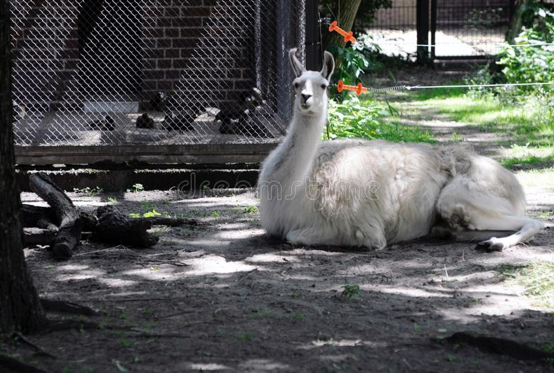 Лама в зоопарке Берлина стоковые изображения rf