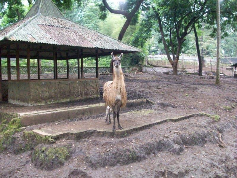 Лама в зоопарке стоковое фото rf