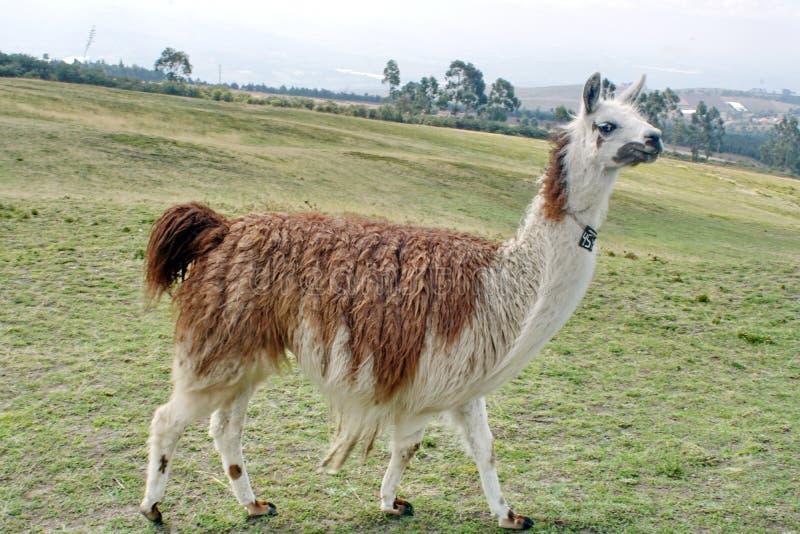 Лама в поле стоковое изображение rf
