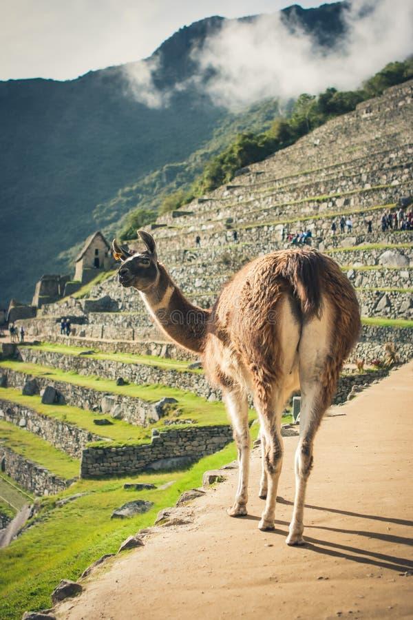 Лама в Machu Picchu, Cuzco, Перу стоковые изображения rf