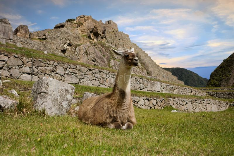 Лама в Machu Picchu, Cuzco, Перу стоковое изображение rf