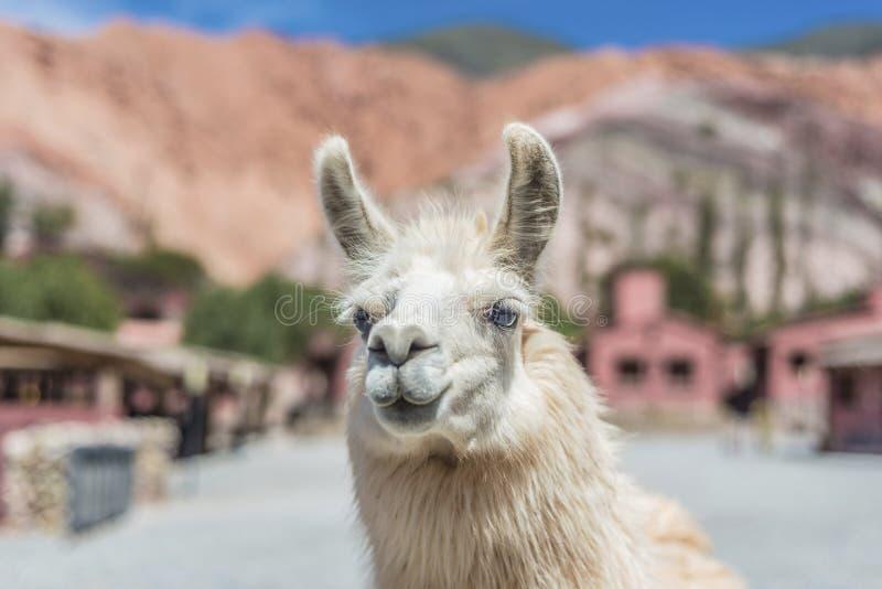 Лама в Purmamarca, Jujuy, Аргентине. стоковое фото