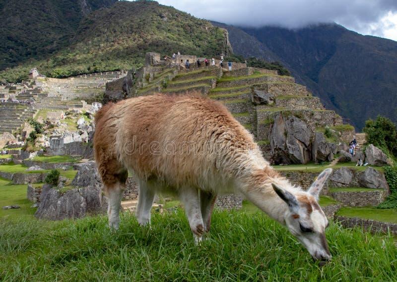 Лама есть траву на руинах Inca на Machu Picchu стоковые фотографии rf