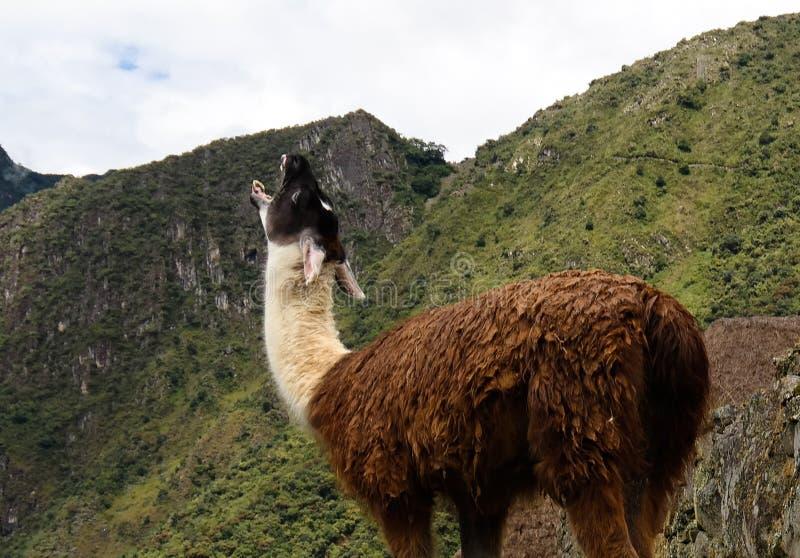 Лама на археологических раскопках Machu Picchu, Cuzco, Перу стоковые фото