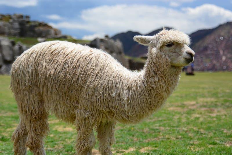 Лама на месте inca Saqsaywaman Cusco Перу стоковые фото
