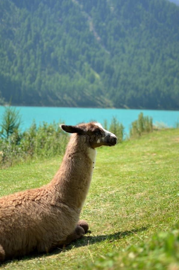 Лама на озере Vernago стоковое изображение rf