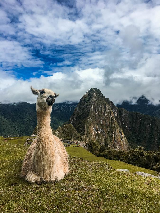 Лама ослабляя на Machu Picchu стоковое изображение
