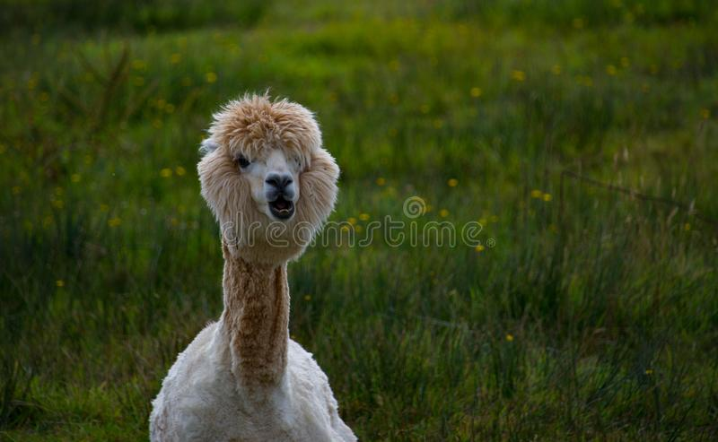 лама представляя с взглядом происка стоковая фотография rf