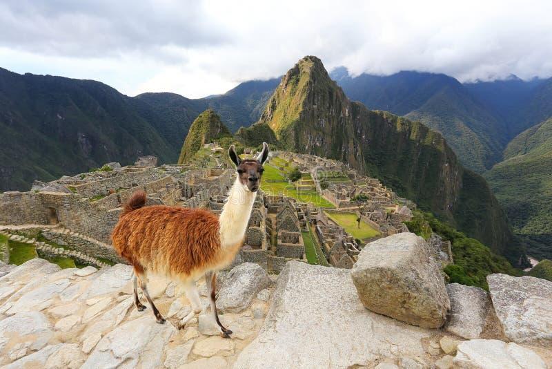 Лама стоя на Machu Picchu обозревает в Перу стоковая фотография rf