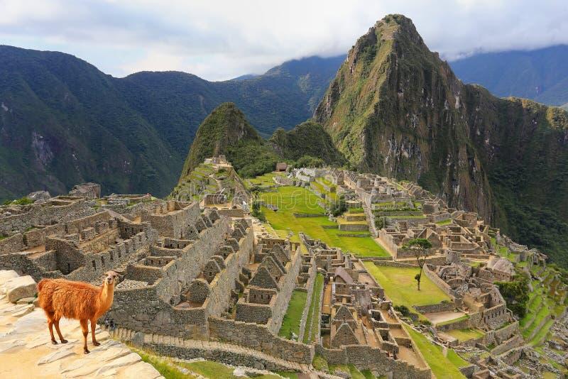 Лама стоя на Machu Picchu обозревает в Перу стоковые изображения rf