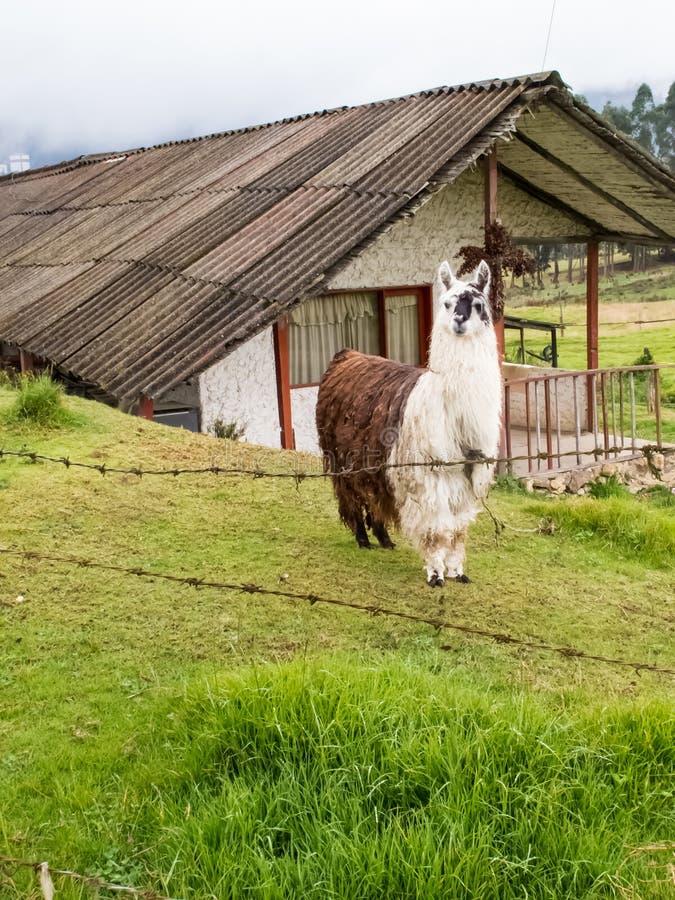 Лама также вызвала альпаку на зеленом поле на колумбийских горах стоковые изображения rf