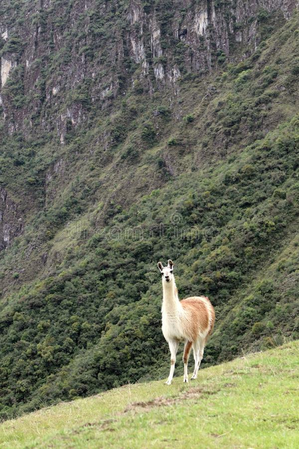 Лама Machu Picchu Перу стоковое фото rf