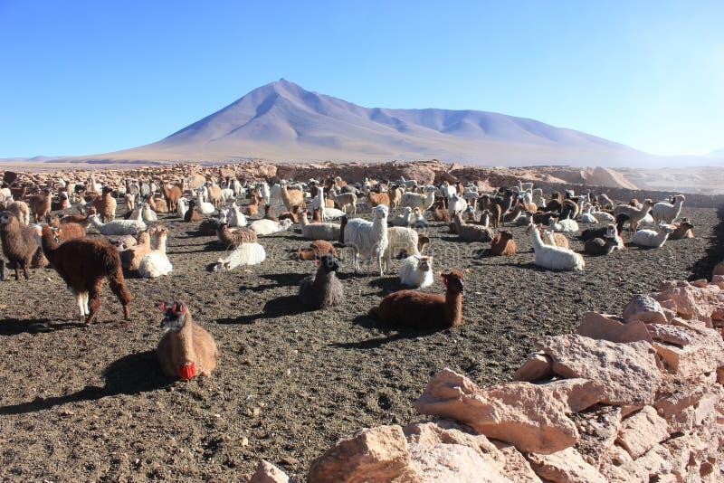Ламы в боливийской пустыне стоковая фотография