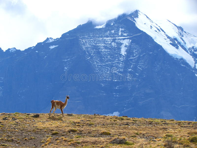 Ламы в chile 3 стоковое изображение rf