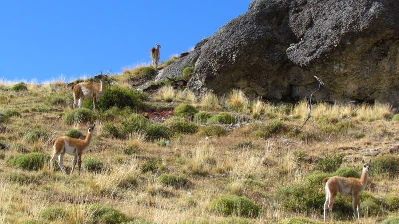 Ламы в chile стоковые фото