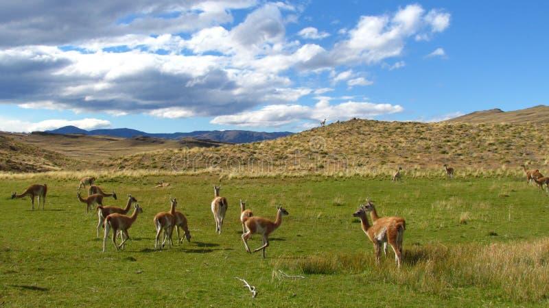 Ламы в chile 2 стоковые изображения rf