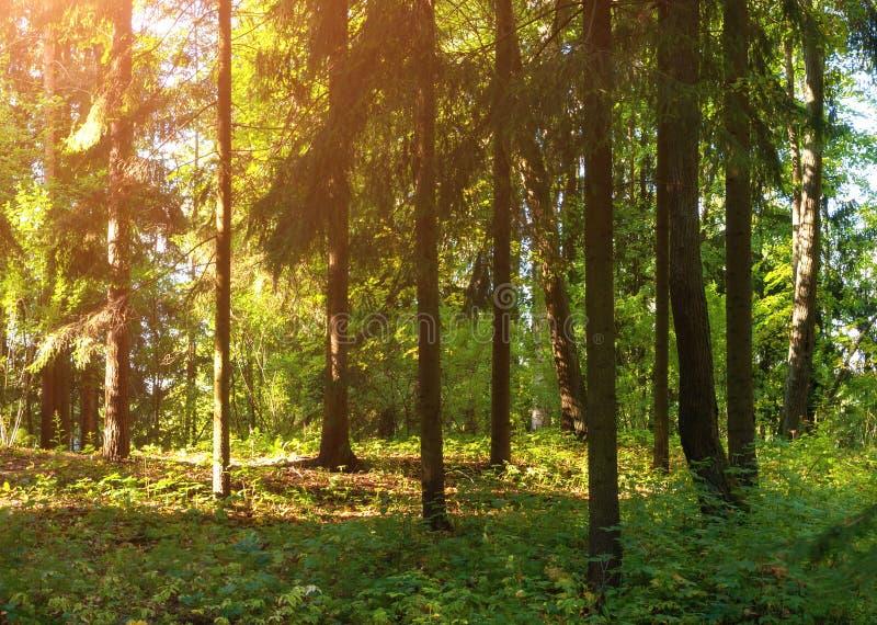 Ландшафт весны леса, ow леса деревьев соснового леса весной плотного стоковая фотография