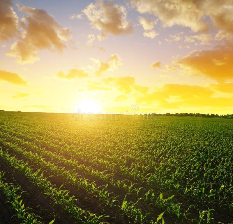 Ландшафт весны сельский с зеленым кукурузным полем стоковая фотография