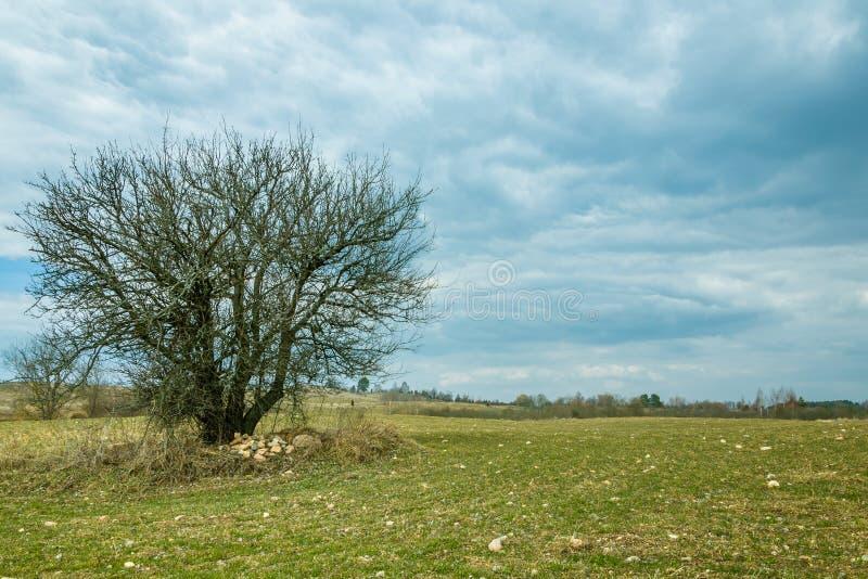 Ландшафт весны страны сиротливое чуть-чуть дерево в поле на облачном небе предпосылки стоковые изображения rf