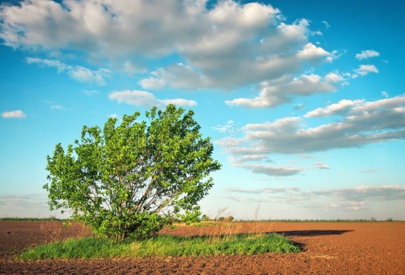 Ландшафт весны с аграрным полем урожаев и сиротливым деревом стоковые изображения rf