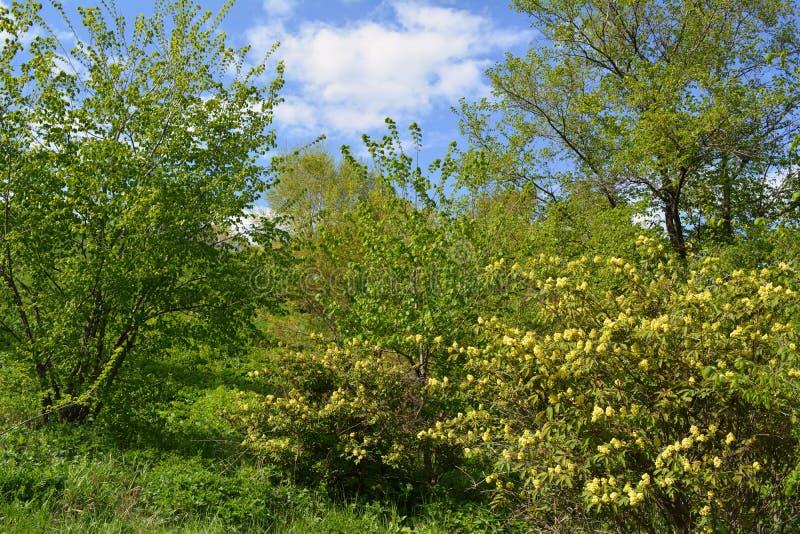 Ландшафт весны с деревьями и зацветая кустами в солнечном дне стоковая фотография rf
