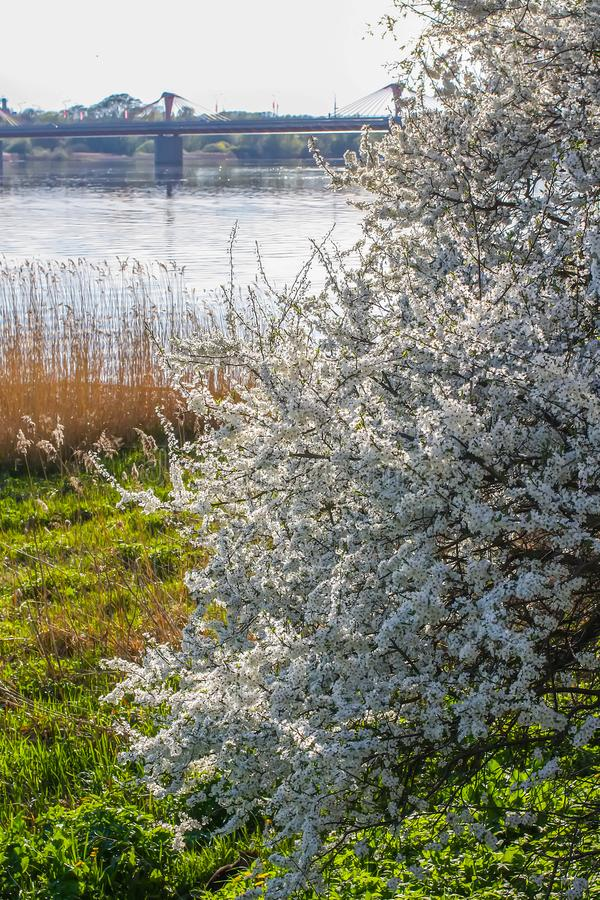 Ландшафт весны с зацветая яблонями стоковая фотография rf