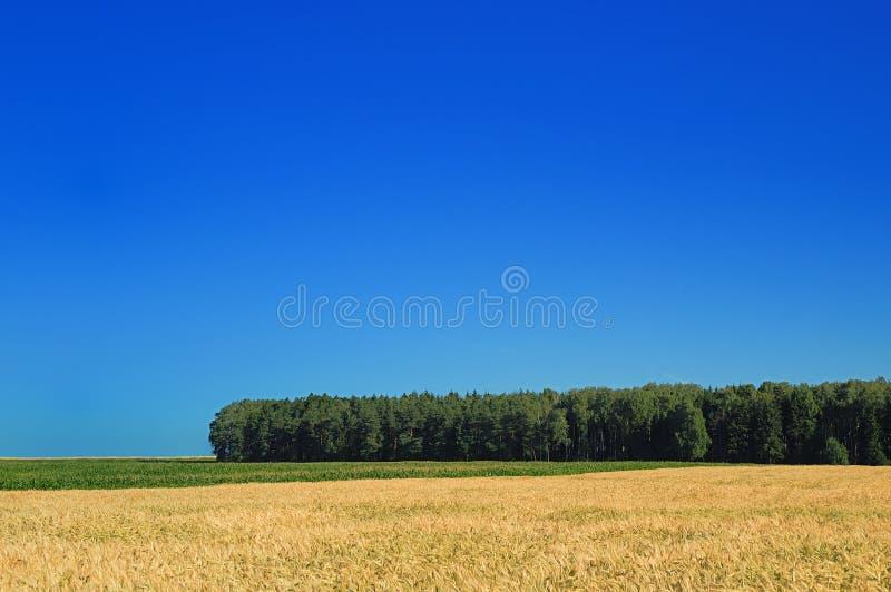 Ландшафт, взгляд поля с зрелыми хлопьями стоковые фото