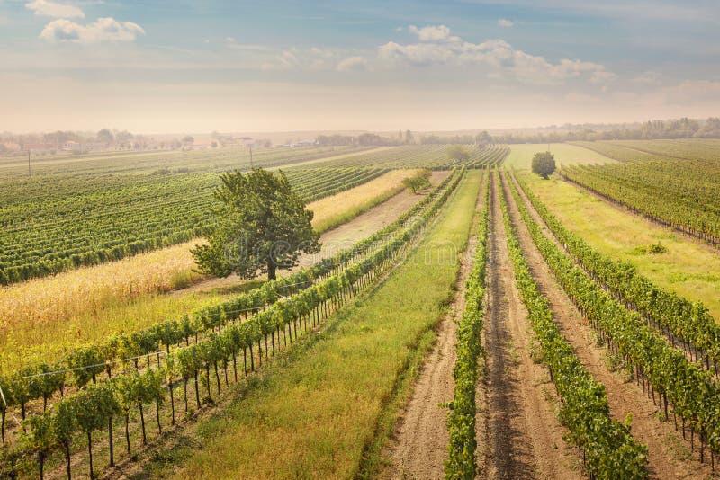 Ландшафт виноградников стоковая фотография