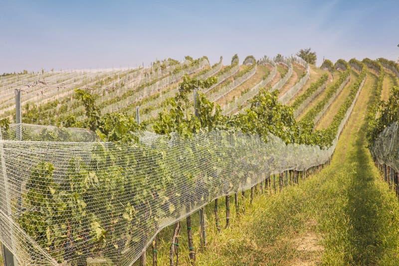Ландшафт виноградников стоковое фото rf