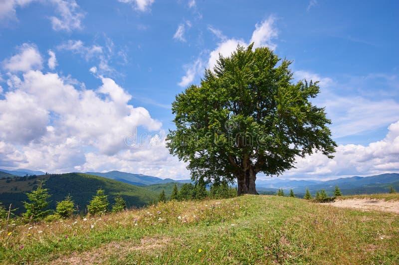 Ландшафт горы с сиротливым деревом бука на переднем плане r o стоковые фотографии rf