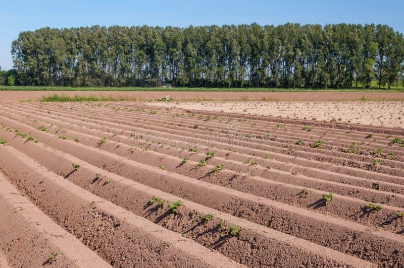 ландшафт засаживает валы рядков картошки стоковые изображения rf