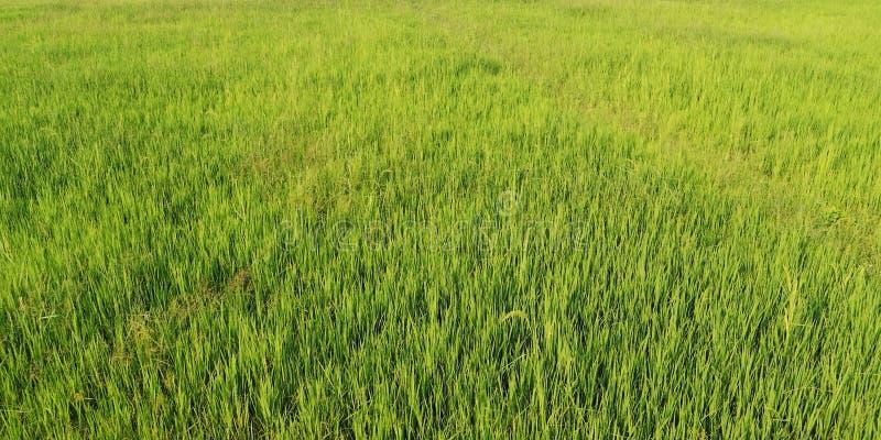 Ландшафт зеленых молодых полей риса стоковая фотография rf