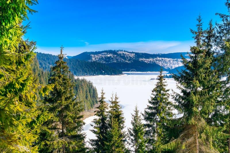 Ландшафт зимы, белый снег покрывая большое, который замерли озеро, леса вполне зеленых сосен стоковые изображения rf