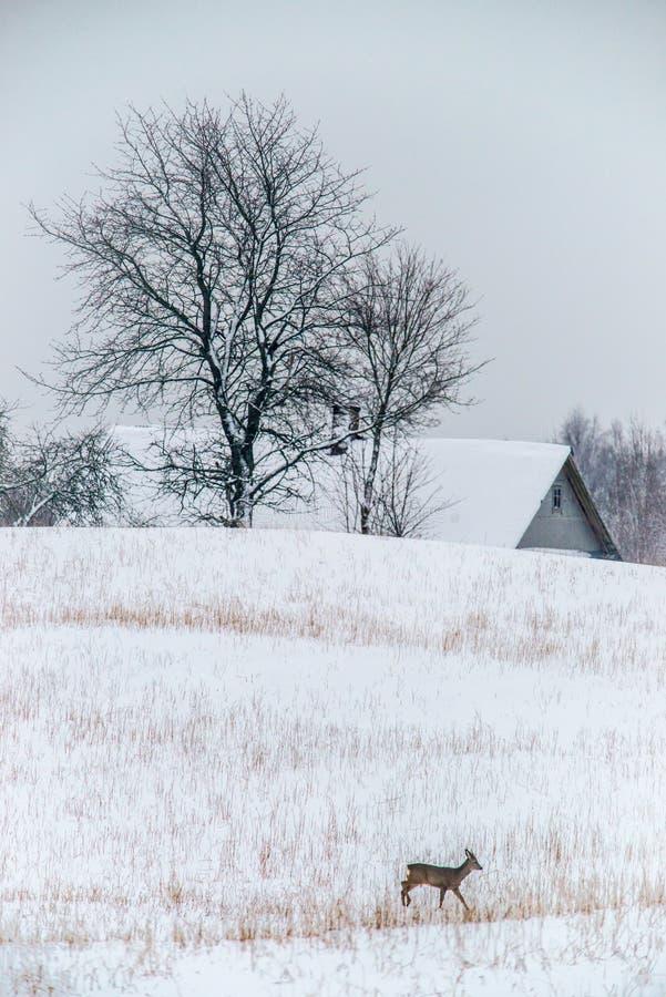 Ландшафт зимы и олени косуль идти стоковая фотография rf