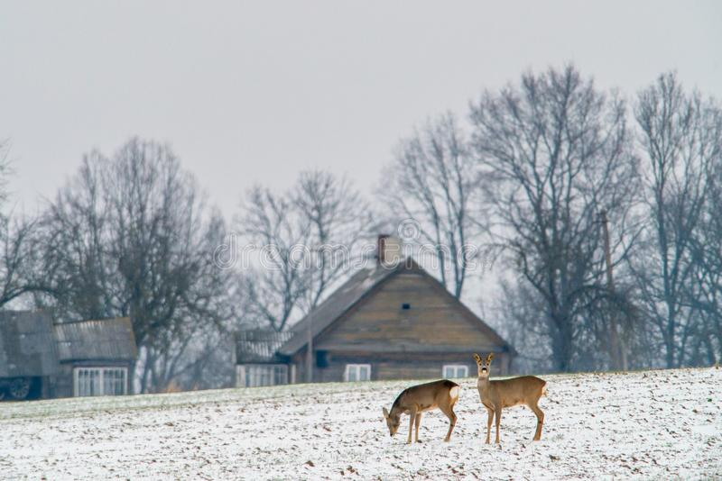 Ландшафт зимы и олени косуль стоковая фотография