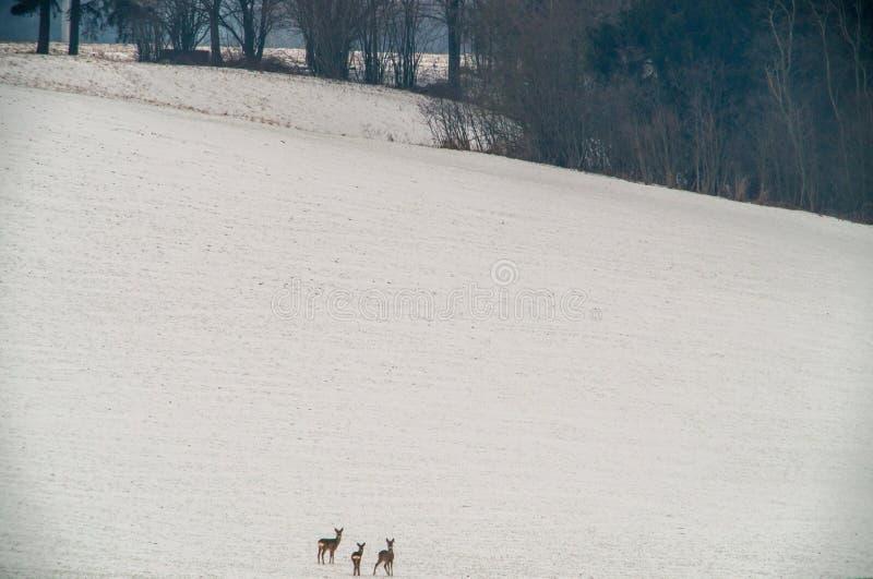 Ландшафт зимы и олени косуль стоковое фото rf