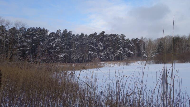 Ландшафт зимы, лес и сухие тростники стоковая фотография rf