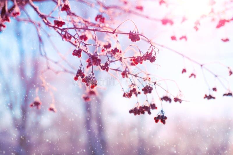 Ландшафт зимы с ветвями рябины покрытыми со снегом Небо и солнечный свет через замороженные ветви дерева r r стоковое изображение