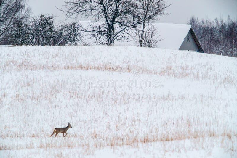 Ландшафт зимы с дикими оленями косуль стоковое изображение rf