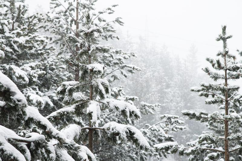Ландшафт зимы с сосновым лесом покрытым со снегом во время снежности с покрытыми снег ветвями дерева в стоковые изображения rf