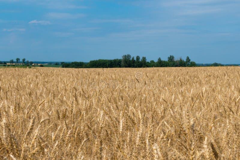 Ландшафт зрелой нивы с голубым небом и whitespace для tex стоковая фотография rf