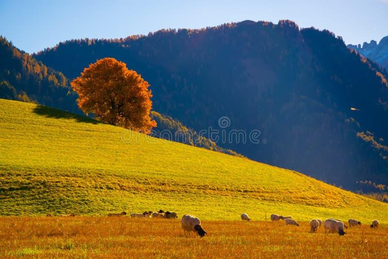 Ландшафт изумительной осени сельский с овцами и сиротливым желтым деревом на pasturage в доломите Альпах, Италии стоковое фото rf