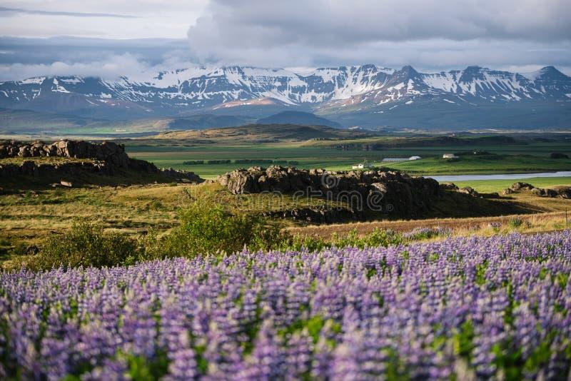 Ландшафт Исландии с зацветая lupine и горами стоковые изображения rf