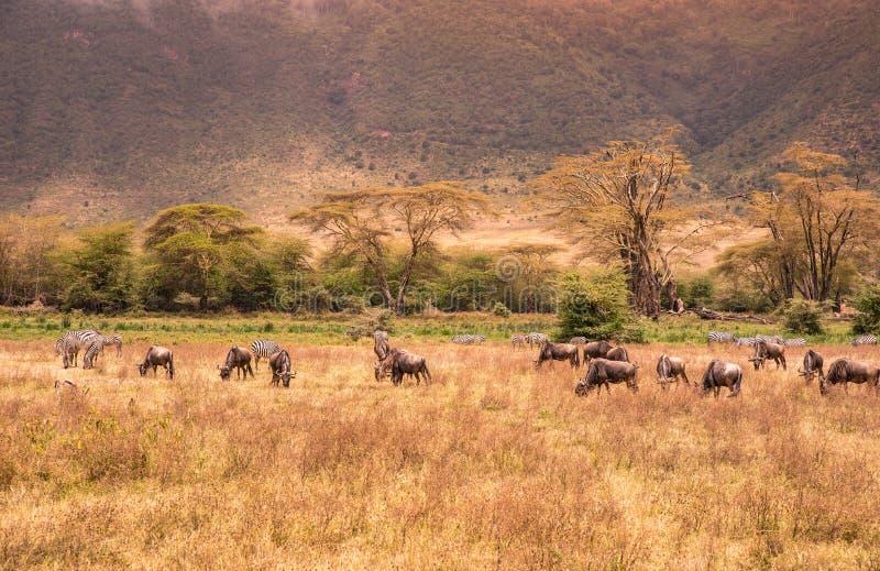 Ландшафт кратера Ngorongoro - табуна зебры и антилоп гну (также известных как гну) пася на злаковике - дикие животные на стоковые фото