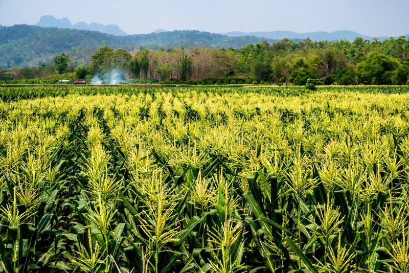 Ландшафт кукурузного поля в цветени в сельской местности Чиангмая, Таиланда стоковые фотографии rf