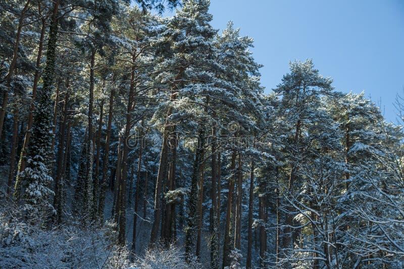Ландшафт леса зимы в Каталонии стоковая фотография