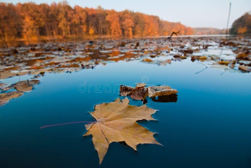 Ландшафт леса и озера полдня осени, листья клена и дуб лежат на неподвижной поверхности темносиней воды стоковая фотография