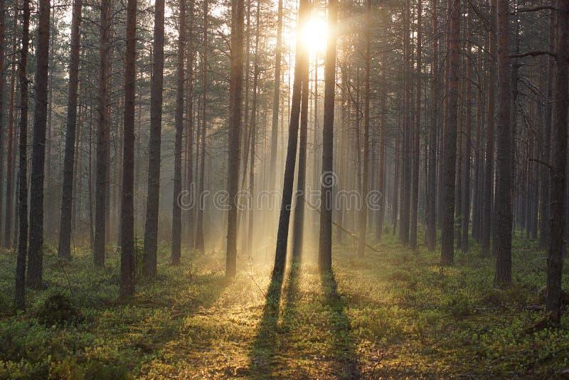 Ландшафт леса утра, искупанный в солнечном свете пропуская через деревья стоковое изображение